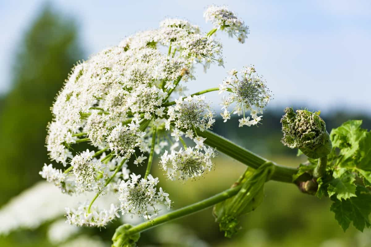 Giant hogweed burns anyone who touches it.