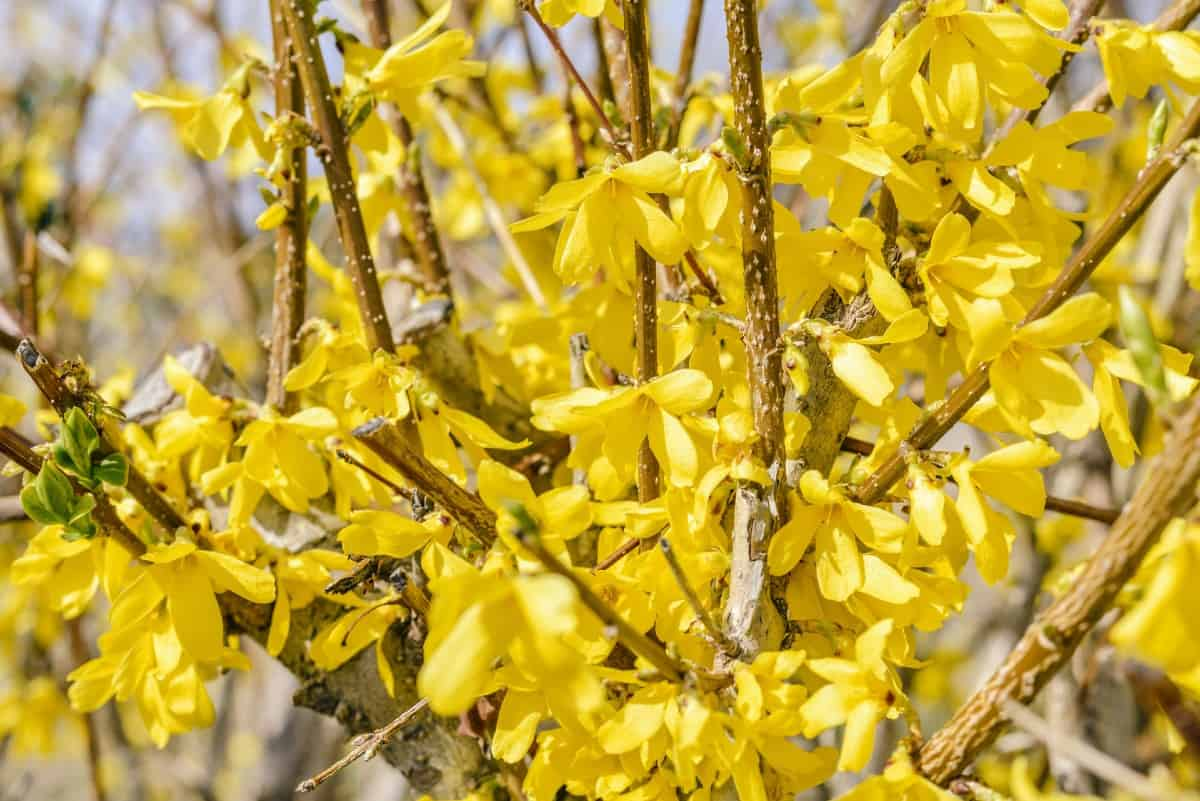 Golden bell forsythia is one of the earliest shrubs to bloom in spring.
