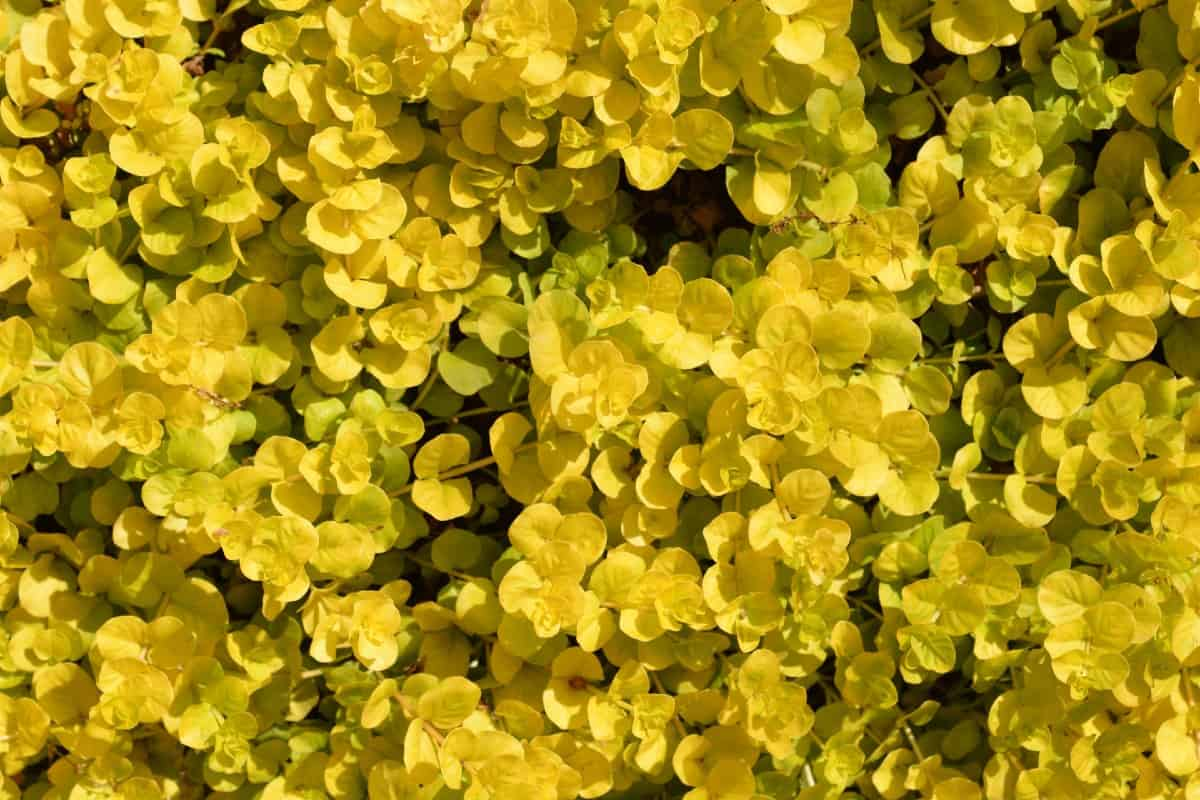 Golden creeping Jenny is a brightly-colored, fast-growing plant.