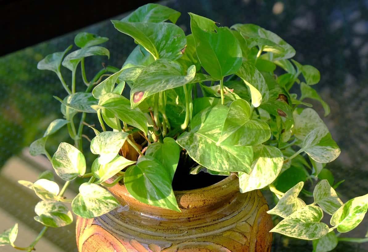 Golden pothos is also called devil's ivy.