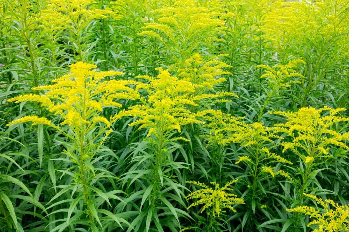 Pollinators flock to goldenrod flowers.
