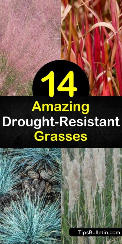 Learn how to create a green and colorful landscape with native grasses. Muhlenbergia, fescue, deer grass and other lawn and ornamental grasses adapted to dry areas of the United States, such as Mexico and Texas and are perfect for a dry climate. #grass #desert #desertgrass #growingdesertgrass