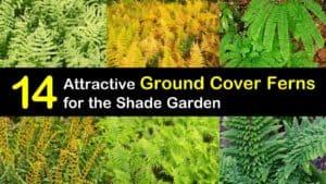 Ground Cover Ferns titleimg1