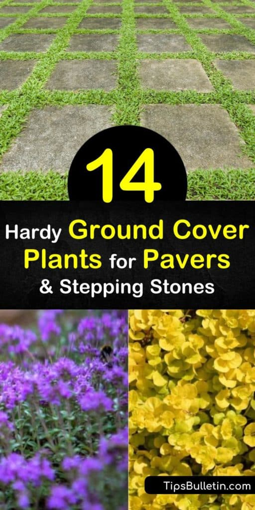 Learn how foot traffic, soil type, and full sun exposure all play a major role when deciding which ground cover plants to use around stepping stones and flagstone patios. Decide if creeping plants like sedum, elfin thyme, or blue star creeper are right for your yard. #groundcover #plants #pavers