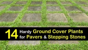 Ground Cover Plants for Pavers titleimg1