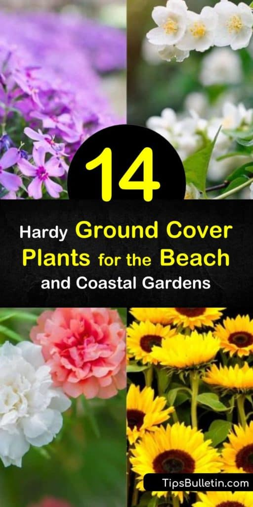 Explore which ground cover plants grow in sandy soil, including the variegated liriope that drought tolerant blue flowers and green leaves. #groundcoverplants #beach #coastalplants #ground #cover #plants