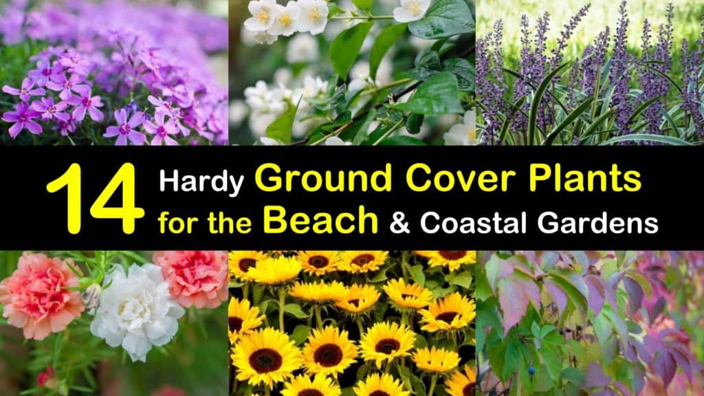 Ground Cover Plants for the Beach