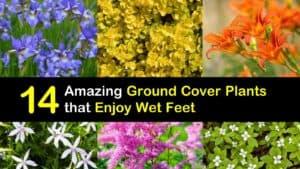 Ground Cover Plants for Wet Soil titleimg1