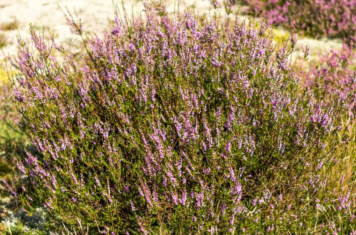 Heather is a sun-loving purple ground cover.