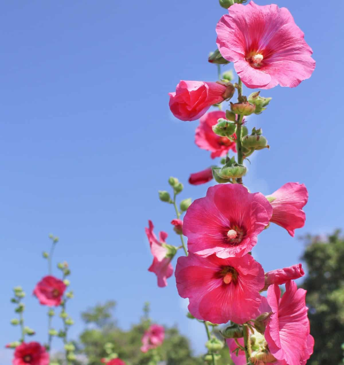 Hollyhock is an annual flower that is easy to grow.