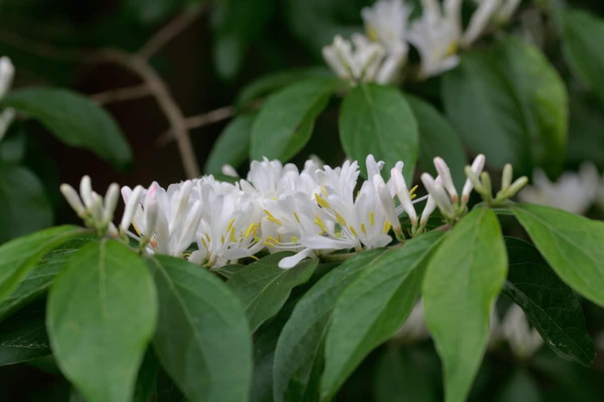 Honeysuckle is heat-tolerant and smells heavenly.