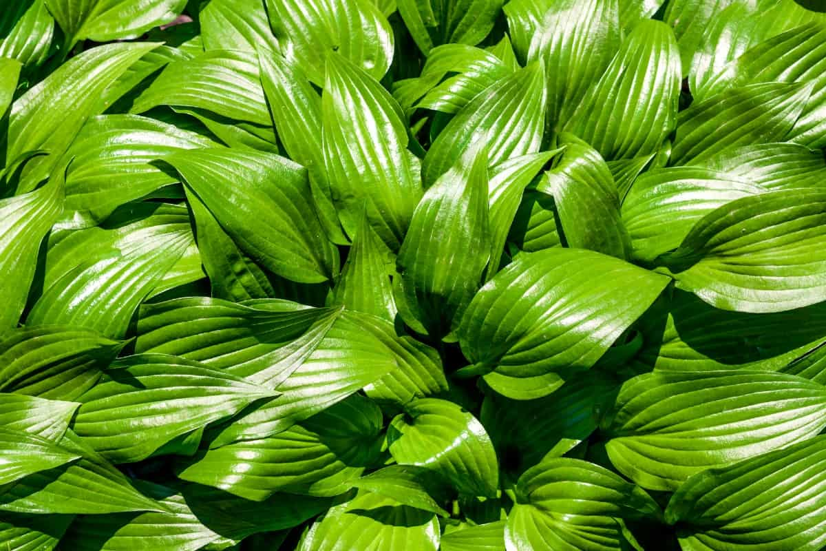 Hosta is a tough ground cover with attractive leaves.
