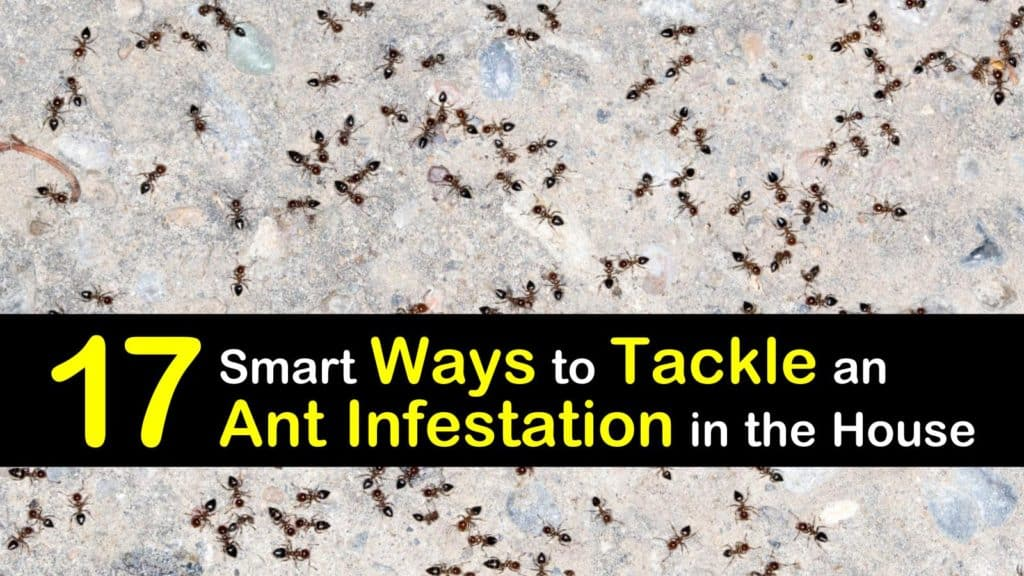 How to Get Rid of An Ant Infestation titleimg1