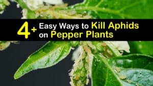 How to Get Rid of Aphids on Pepper Plants titleimg1