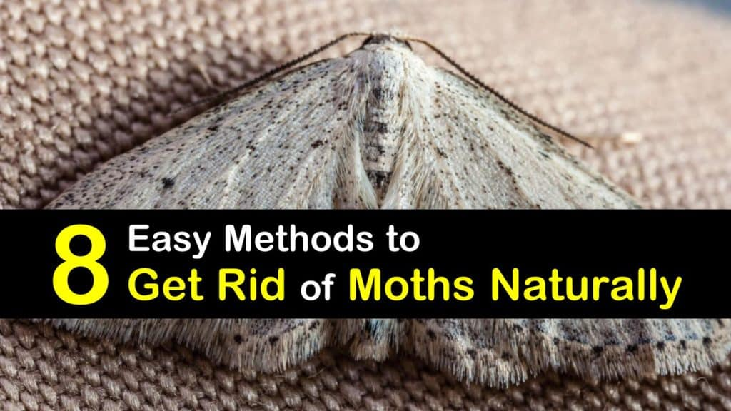How to Get Rid of Moths Naturally titleimg1