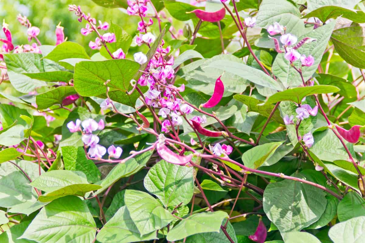Hyacinth bean seeds produce flowers and bean pods that birds enjoy.