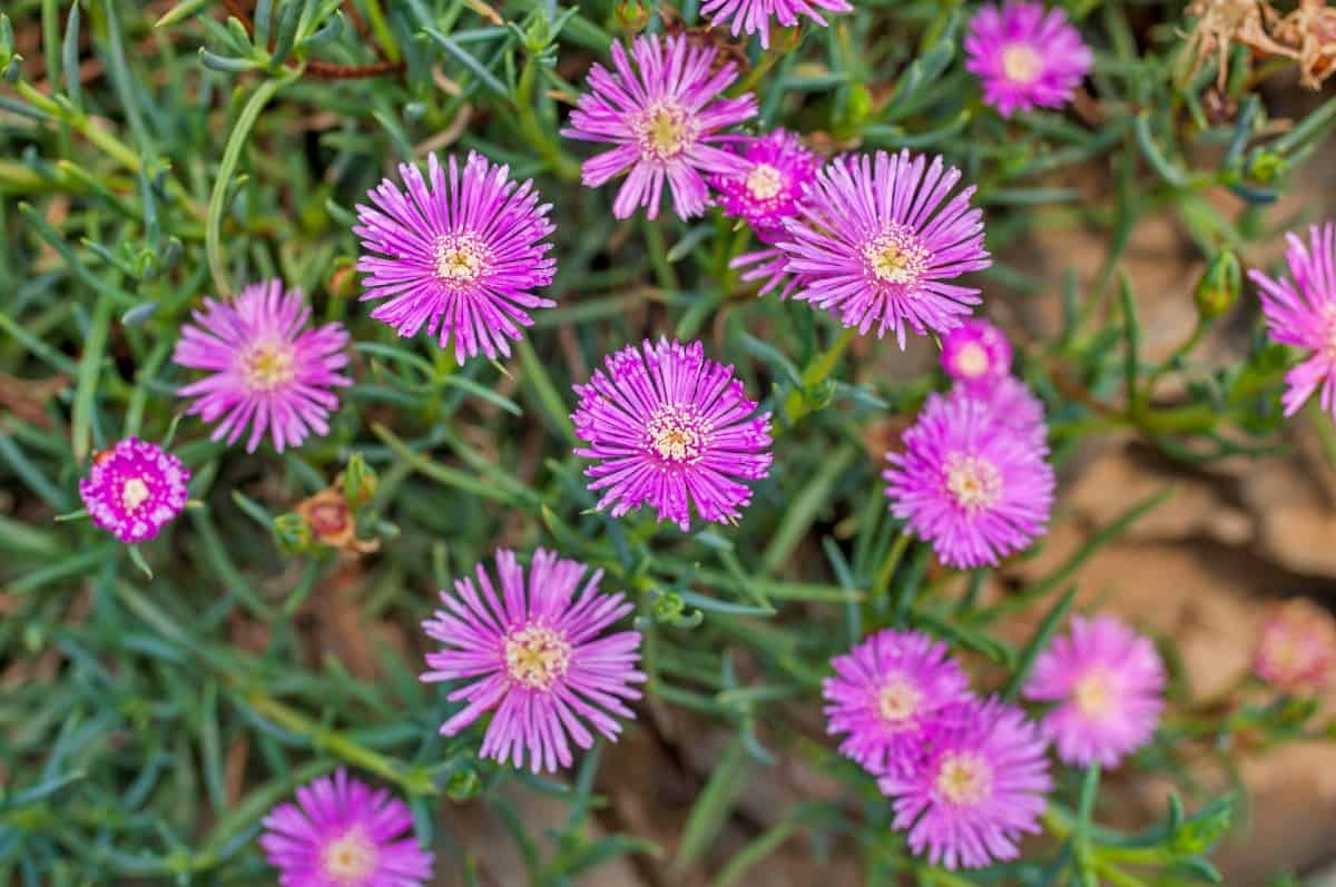 Ice plants have succulent-like stems and leaves.