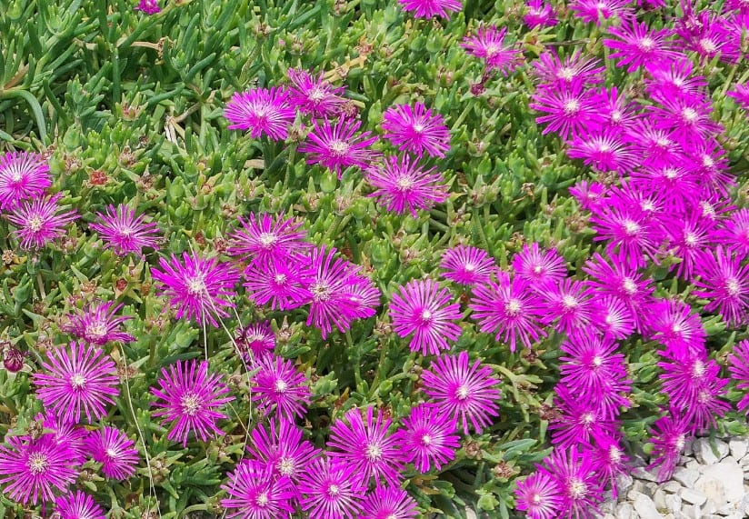 The ice plant is a hardy ground cover perennial.