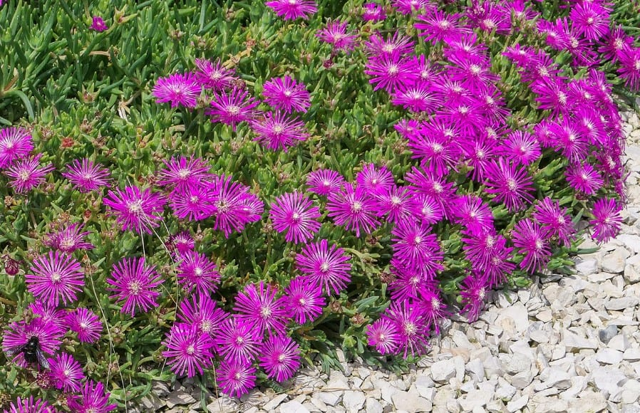 The ice plant prefers full sun locations.