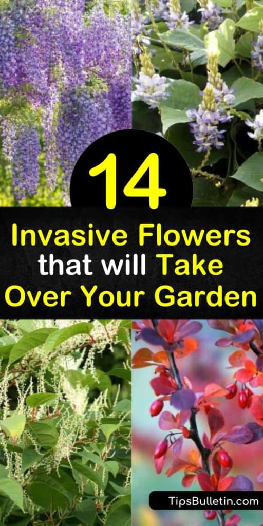Learn how to identify some of the most invasive flowers and plants in the United States. Discover how these non-native species arrived in North America and how they are still used today. Find out the ways these plants impact the ecosystem and native species. #invasive #flowers #plants