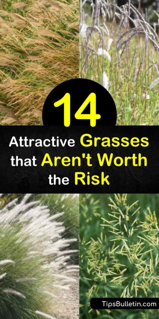 Learn about invasive grass species that may take over your yard. Non-native grasses like cheatgrass and buffelgrass may look attractive, but they can overpower native species and even increase the risk of wildfires. #invasive #grass #grasses #invasivesplants
