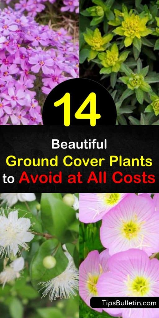 Learn about invasive plants, like Japanese pachysandra with its white flowers or vinca minor with its glossy green leaves and violet blooms, to avoid as ground covers. Choose native plants instead to stay in control of your garden. #ground #cover #invasive #plants
