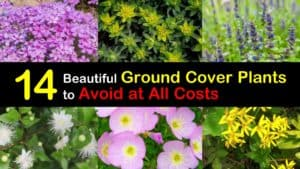 Invasive Ground Cover Plants titleimg1