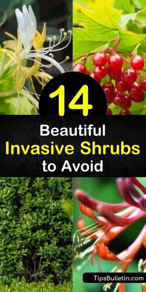 Invasive plants take over native plants, no matter how beautiful they look. Avoid options like multiflora rose, buckthorn, European privet, Japanese barberry, and the burning bush. #invasive #shrubs #plants #avoid