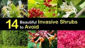 Invasive Shrubs titleimg1