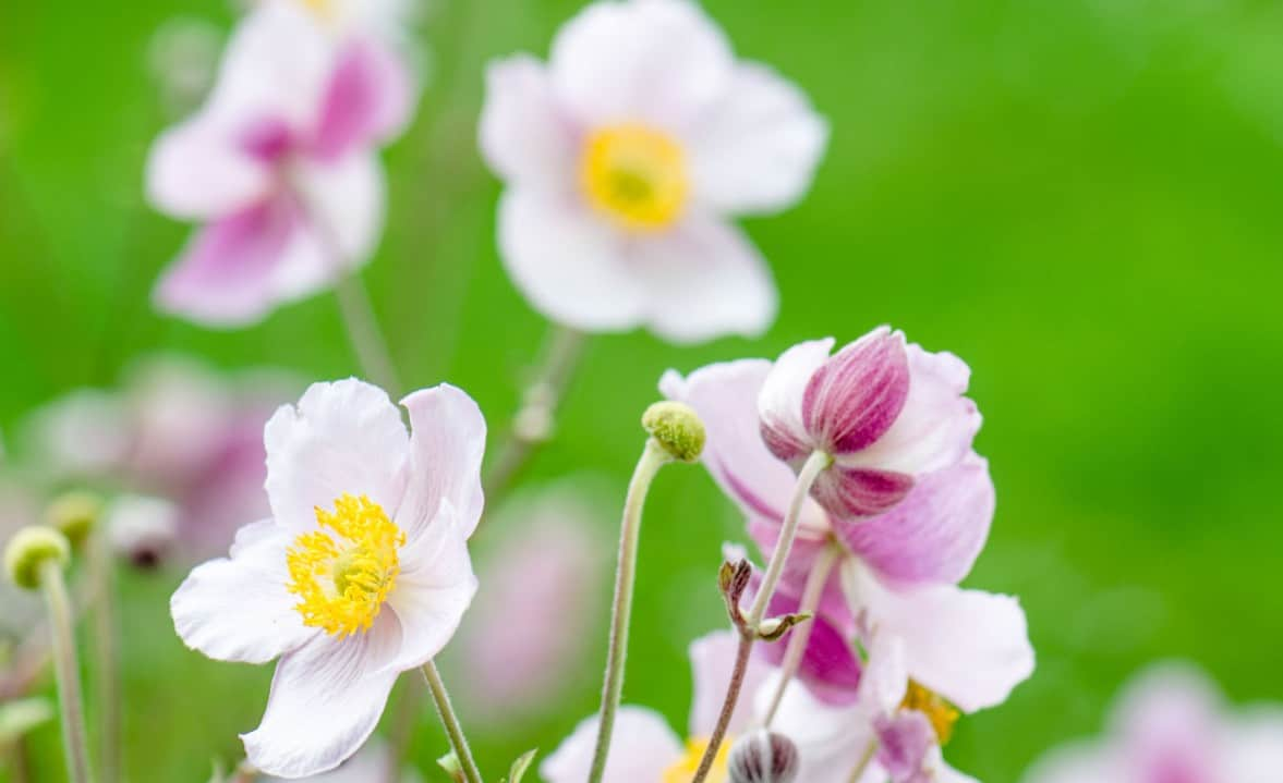 The Japanese anemone plant is quite fragile.