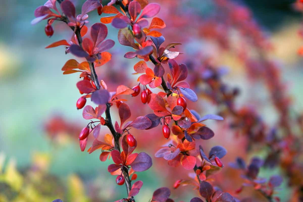There are no natural ways to regulate Japanese barberry.