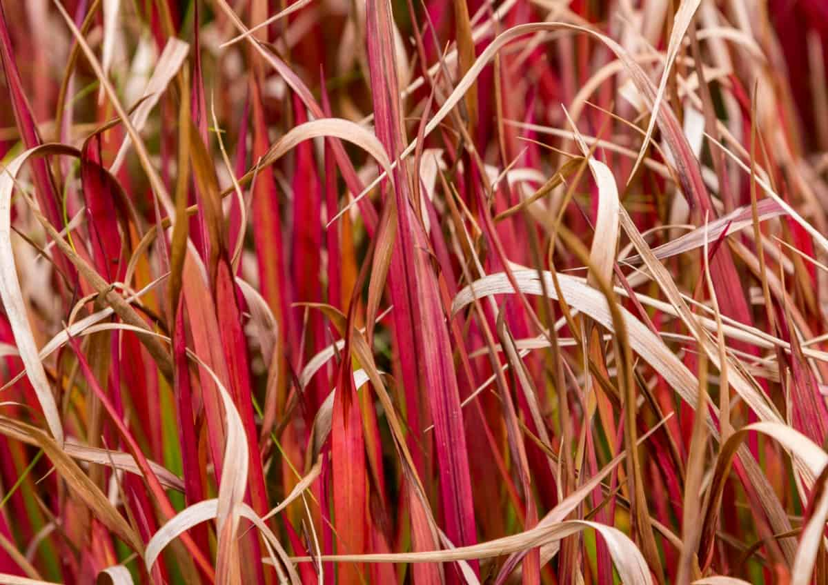 Japanese blood grass turns red in summer and burgundy in fall.
