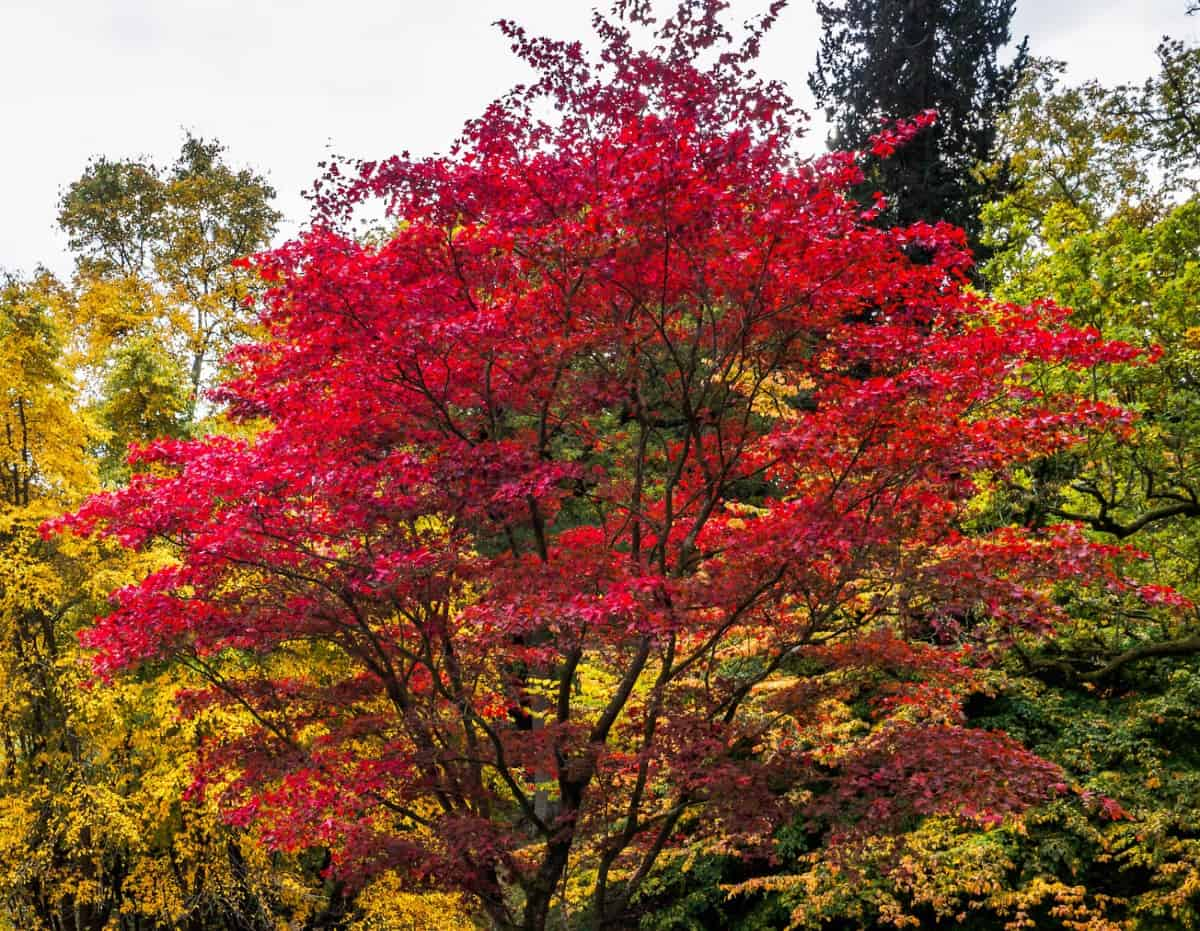 Leaf color for Japanese maple trees depends on the amount of heat and light it receives.