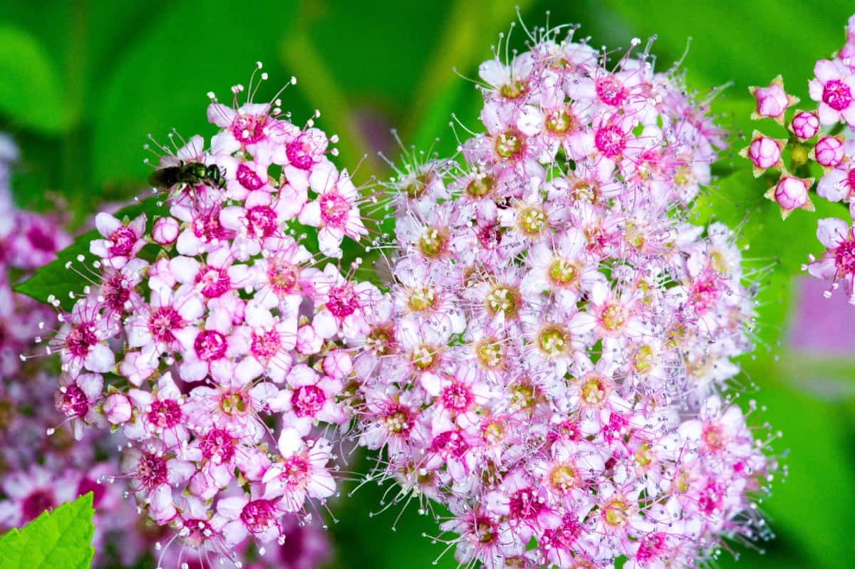 Japanese meadowsweet is also known as Japanese spirea.
