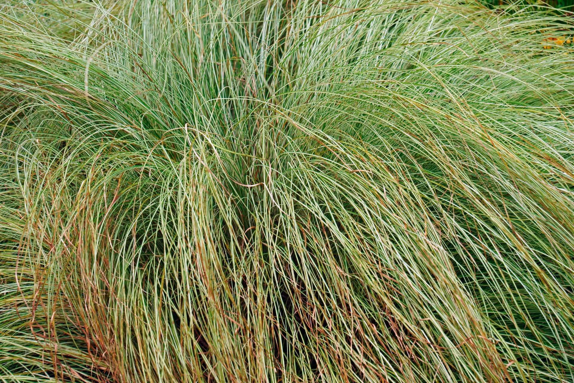 Japanese sedge is a popular dwarf grass.