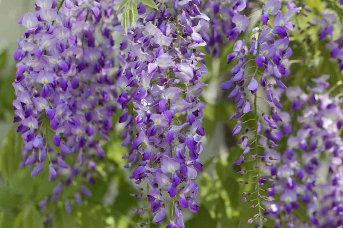Japanese wisteria is a prolific grower that smells heavenly.