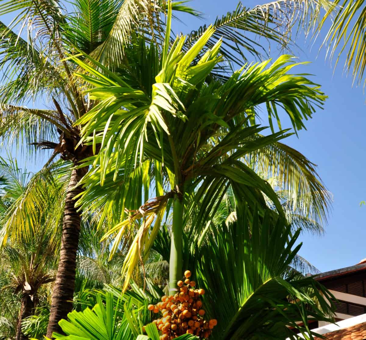 The jelly palm is an evergreen palm tree.