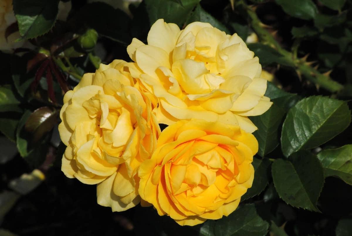The Julia Child floribunda rose smells like licorice.