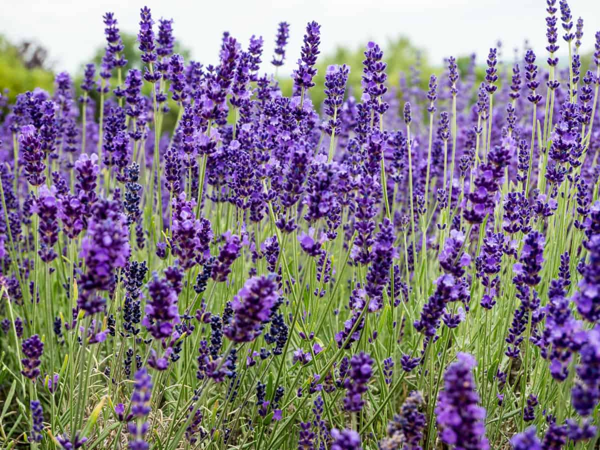Lavender is a grayish-green herb that has a relaxing smell.