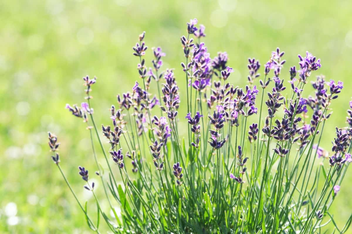Lavender is ideal for natural pest control.