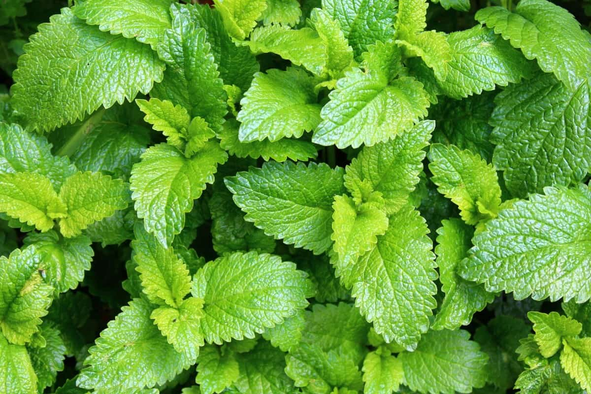 Lemon balm is an herb often used in aromatherapy.