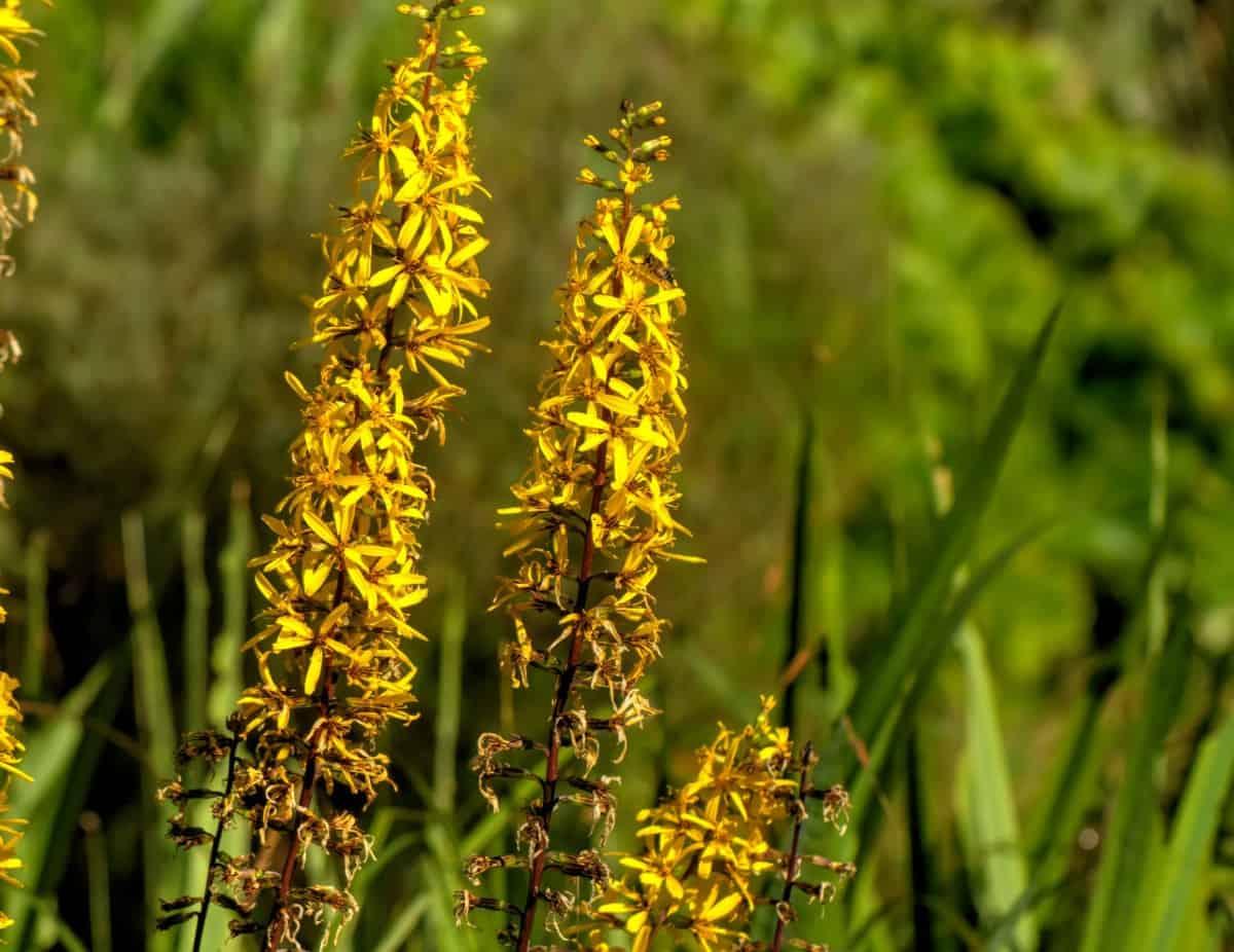 Leopard plants love marshy, boggy soil.