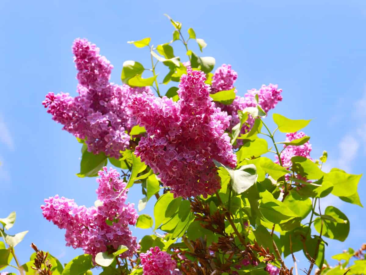 Lilacs typically bloom in late spring.