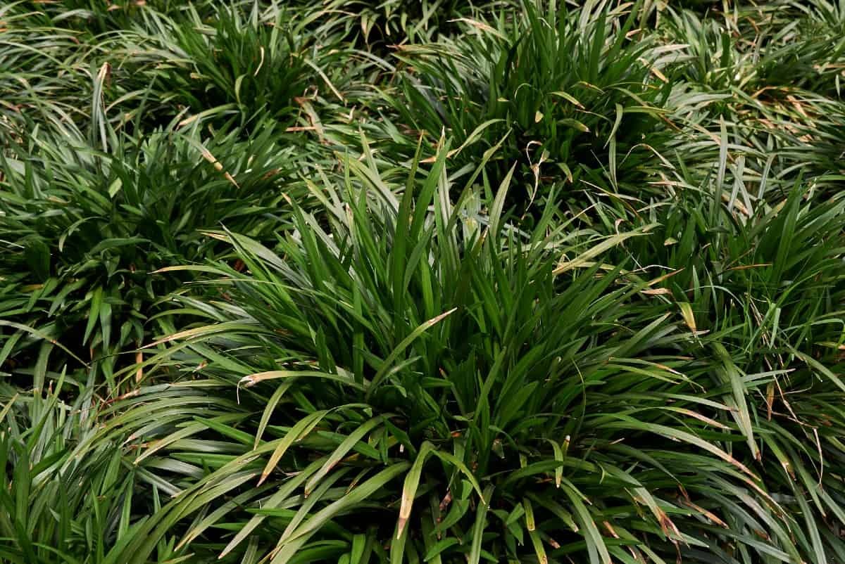 Lilyturf or monkey grass is a popular edging plant.