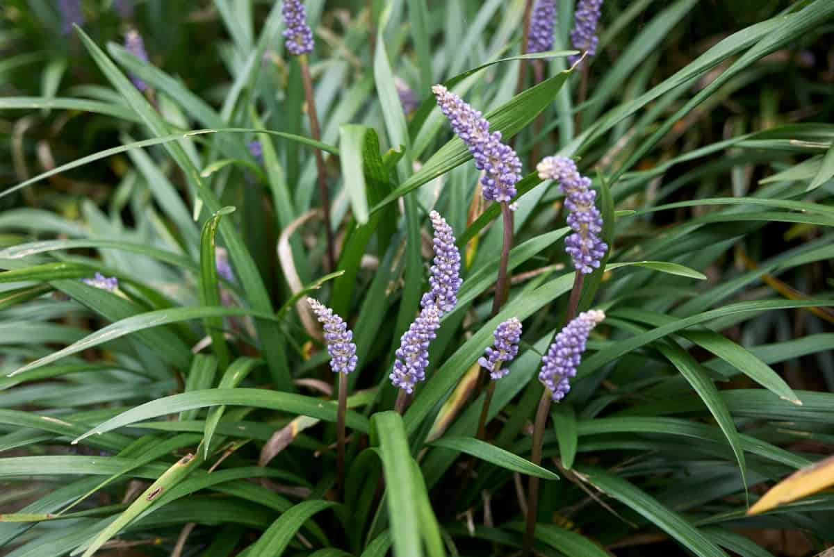 Lilyturf is also known as monkey grass or liriope.