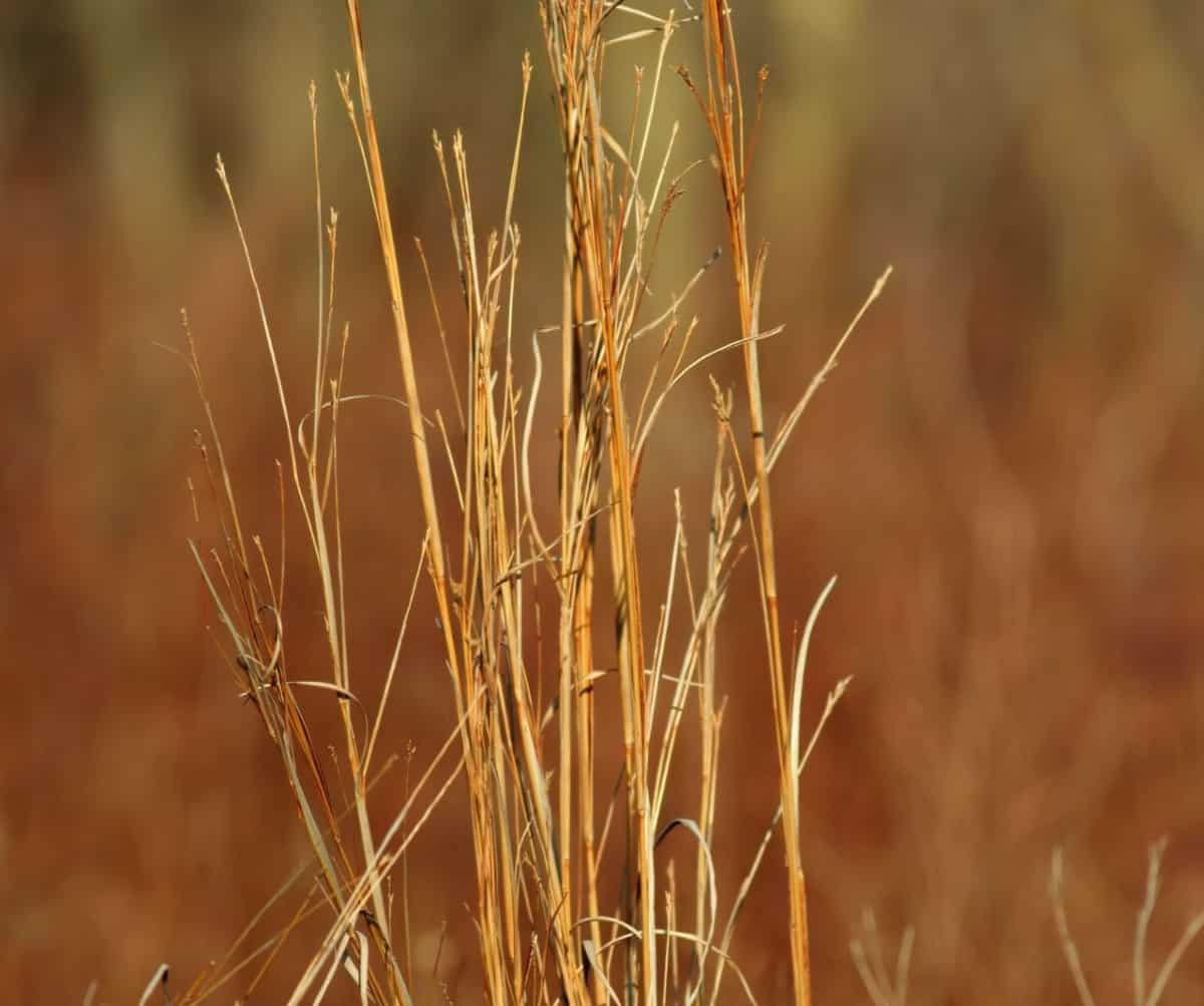 Little bluestem is one of the grasses that stays on the smaller side.