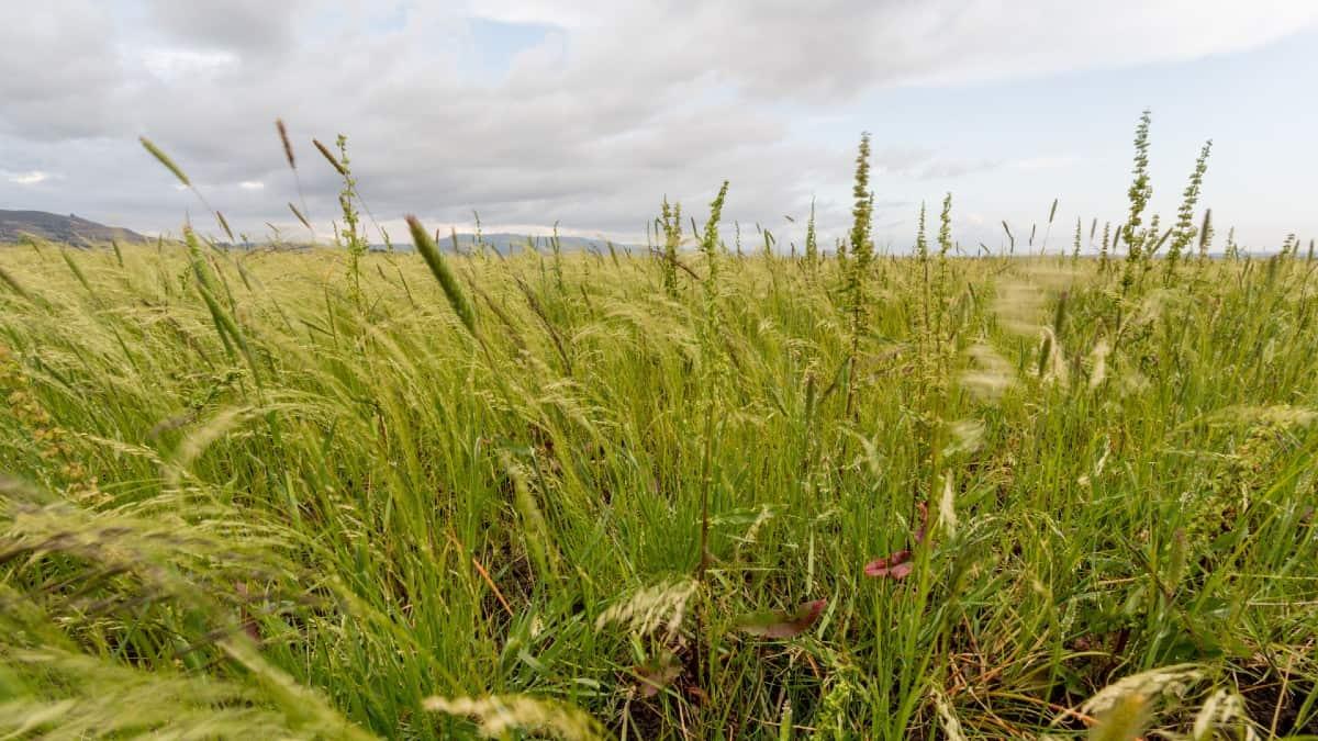 Lovegrass is highly tolerant of the desert landscape.