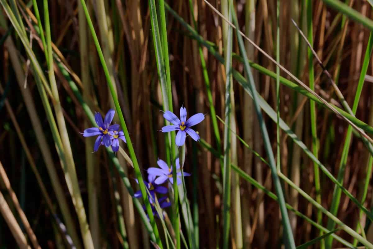 Lucerne blue-eyed grass is a wildflower grass that is a member of the iris family.