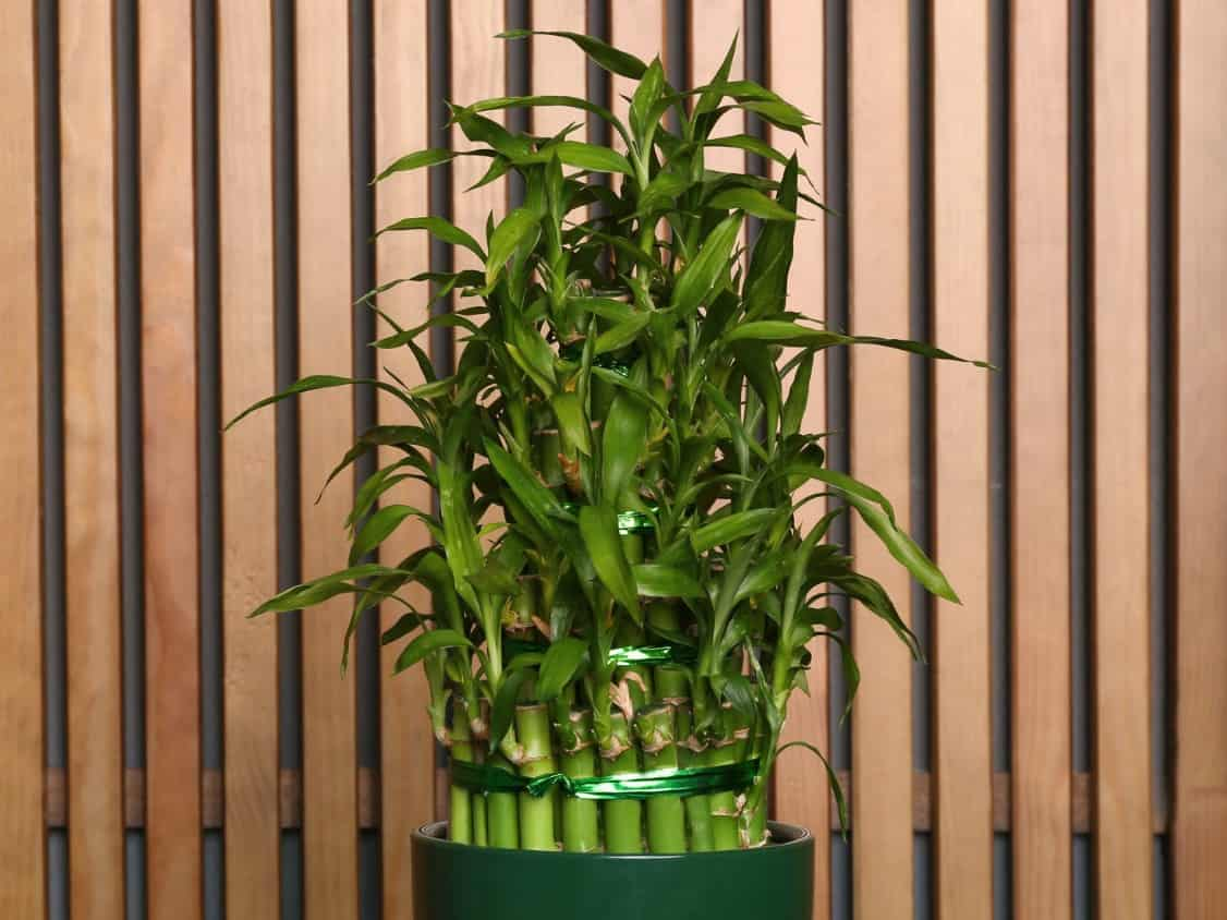 Lucky bamboo grows in water rather than in soil.