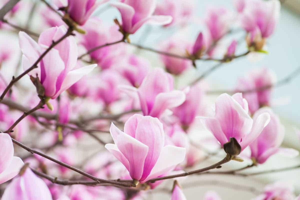 Magnolias are large ornamental trees.